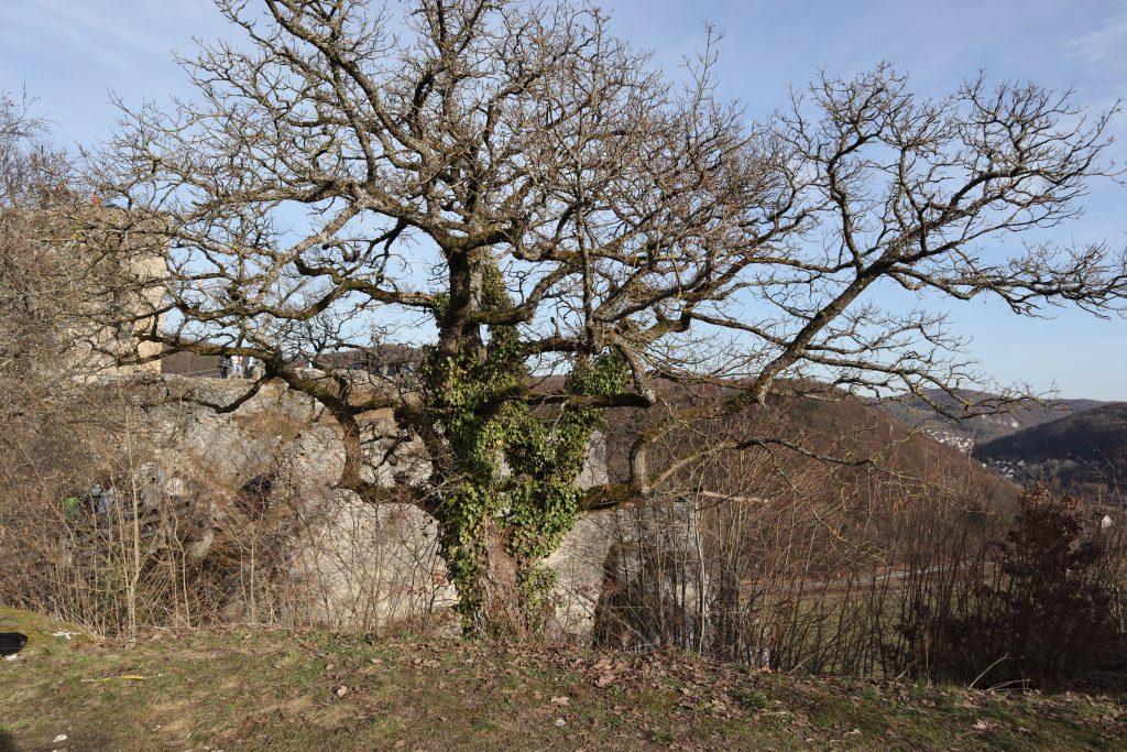 ein Baum vor einer Burgruine